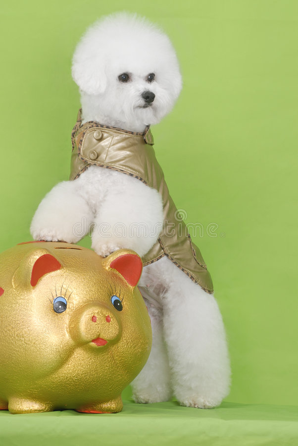 Dog Bichon Puppy Royalty Free Stock Images
