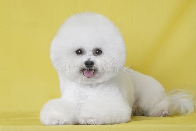 Download Dog Bichon puppy stock image. Image of expression, love - 7596033