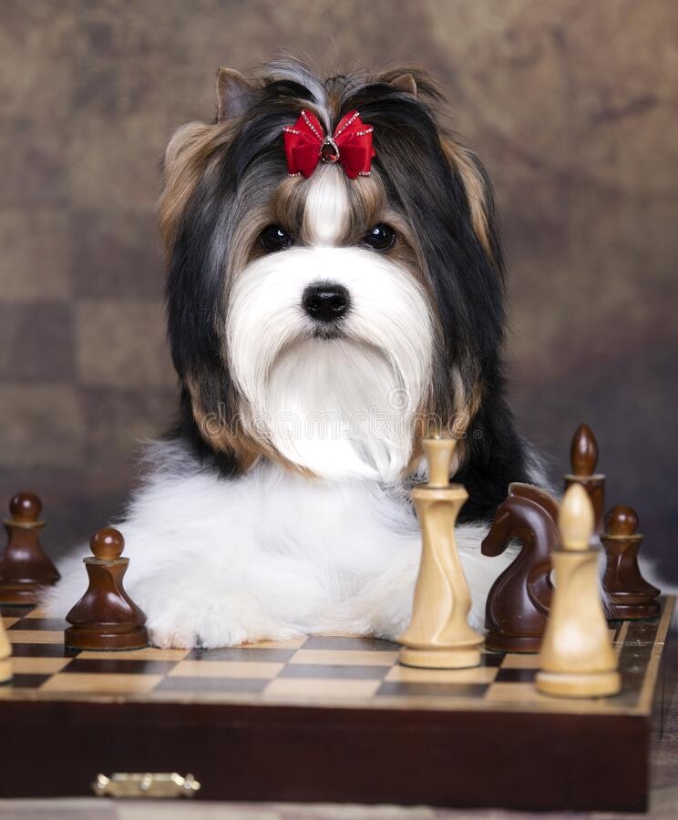 Free Dog Biewer Yorkshire Terrier Plays Chess Royalty Free Stock Photo - 197518305