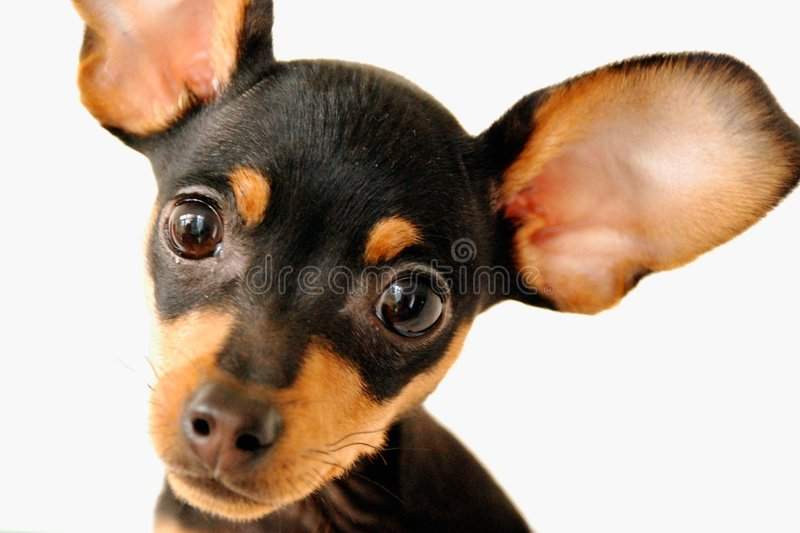 Dog with big ears stock images