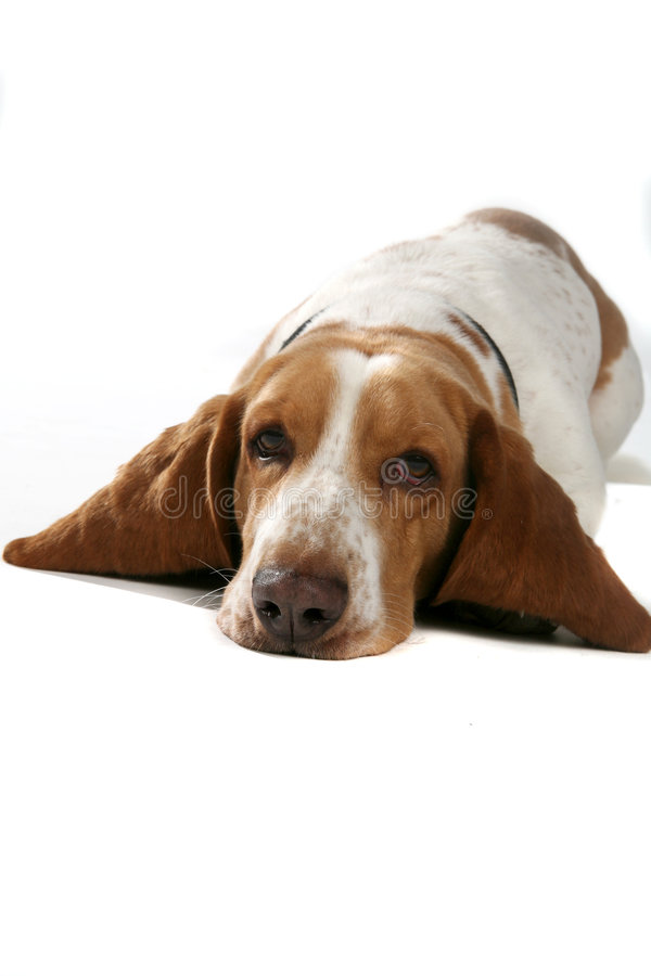 Dog with big ears on his belly. Basset hound dog with big ears and head on the floor stock photos