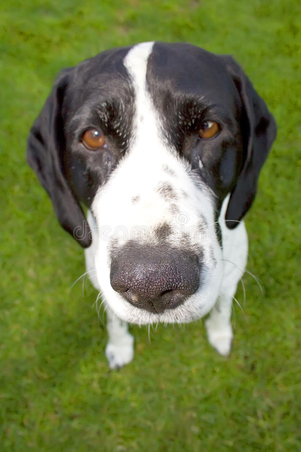 Dog with big nose. Close-up of a dog with big nose, on lawn royalty free stock image