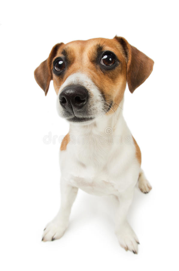 Cute Jack Russel terrier dog. Dog with big nose on white background. Studio shot royalty free stock photography