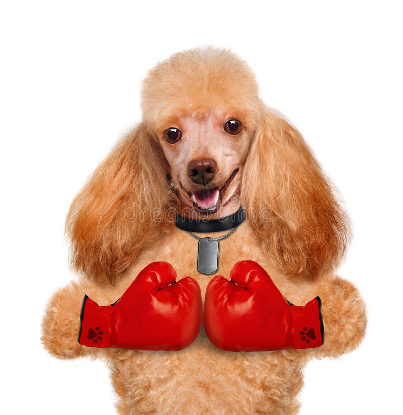 Dog with big red gloves. Isolated on white royalty free stock photography