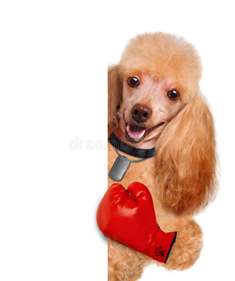 Dog with big red gloves. The white banner royalty free stock photography