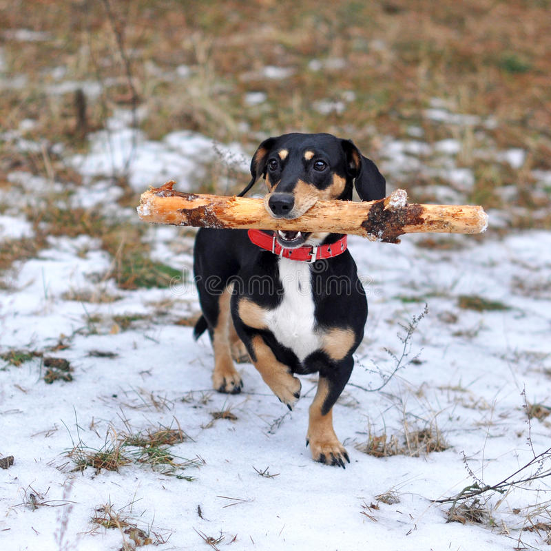 Dog with a big stick stock photo
