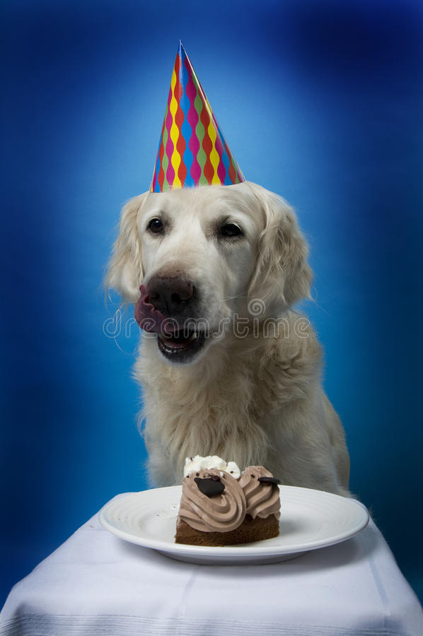 Dog with birthday cake. Golden retriever dog with hat, anticipating the eating of his birthday cake royalty free stock image