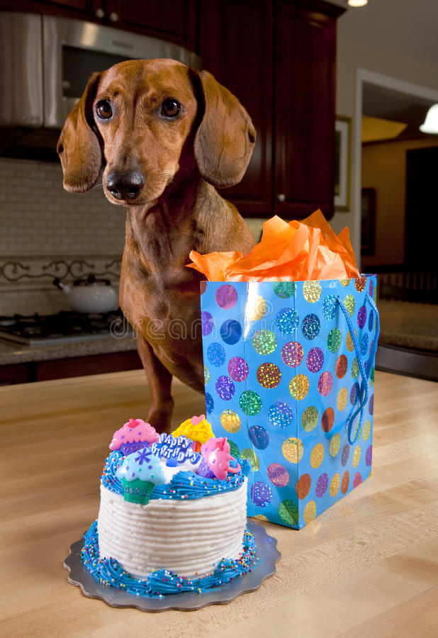 Dog with birthday cake and gift. On kitchen table stock photography