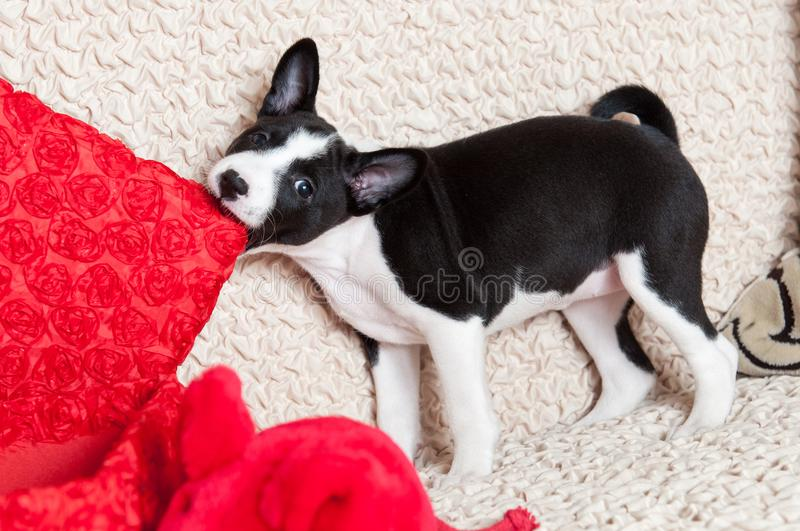 A dog bites pillow royalty free stock photos