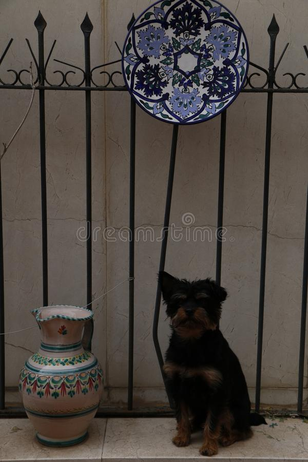 Dog with a black and brown fur. Dog with black and brown fur, sitting on a platform with two vases, blue, white and green. with an iron fence in the background stock photo