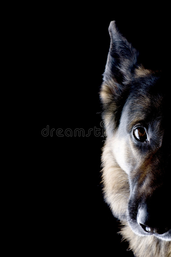 Download Dog on black close up stock photo. Image of protection - 8493040
