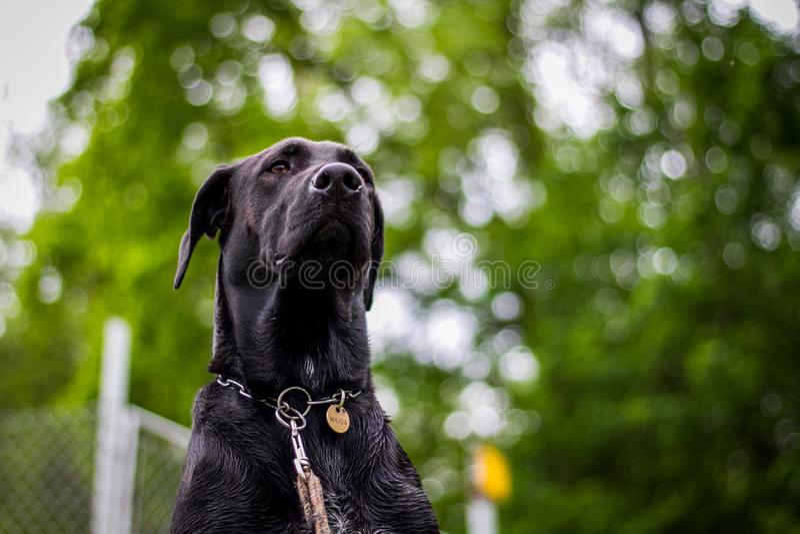 Dog, Black, Dog Breed, Mammal royalty free stock photos