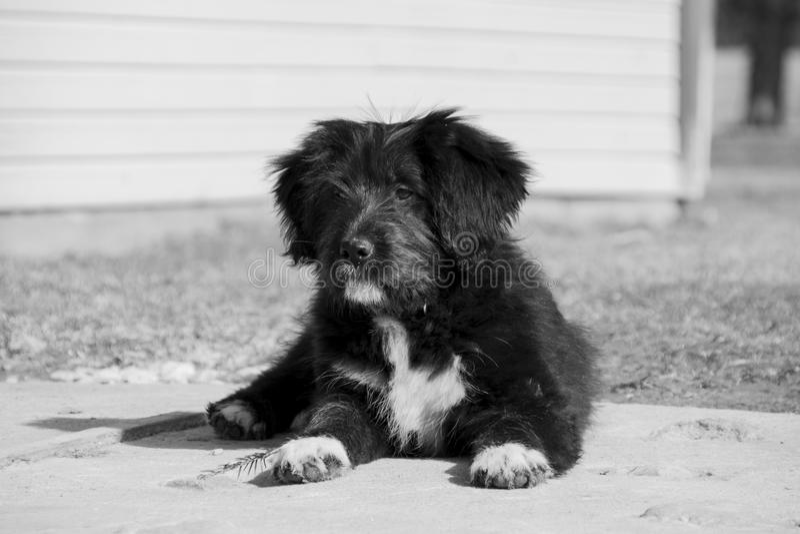 Dog, Black, Dog Like Mammal, Black And White royalty free stock photos