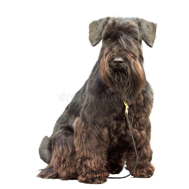 Dog Black Miniature Schnauzer stock images