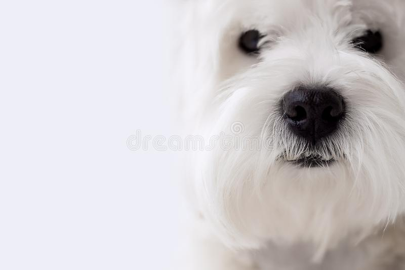Dog. Black nose white dog breed west west highland white terrier on white homogeneous background with free for text stock photography