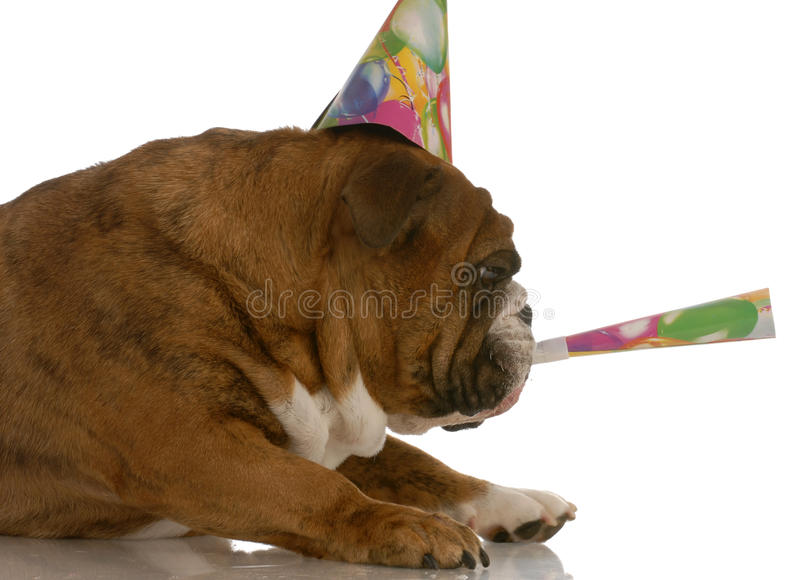 Dog blowing birthday horn stock image