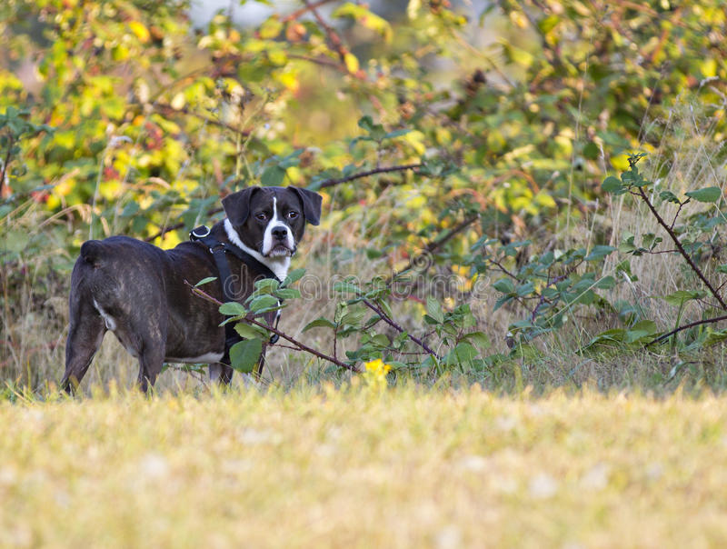 Dog boggle. Boggle mixed boston terrier and beagle royalty free stock images
