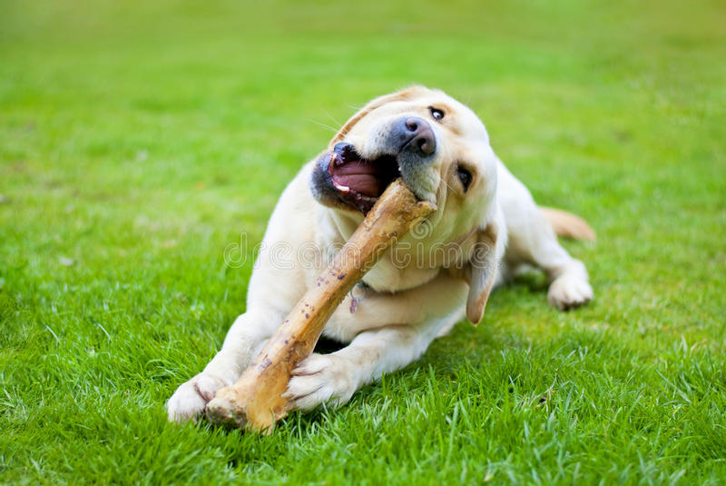 Dog with bone. Beautiful labrador with big bone in the garden royalty free stock photography