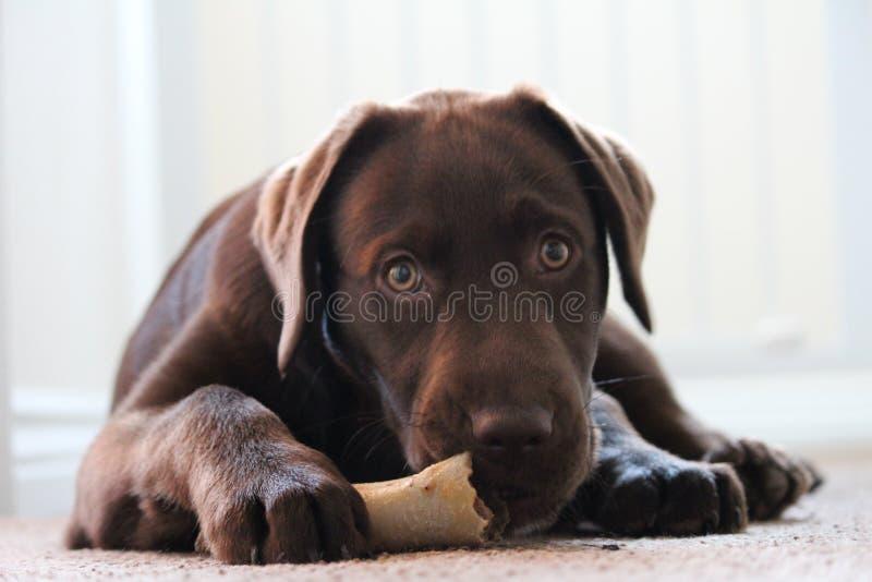 Dog with bone stock photography