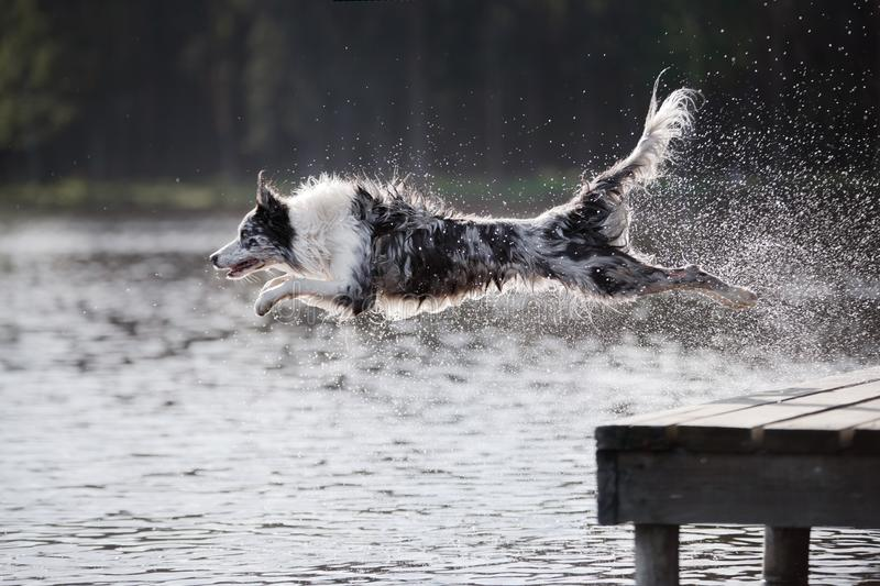Dog border collie jumps into the river royalty free stock image
