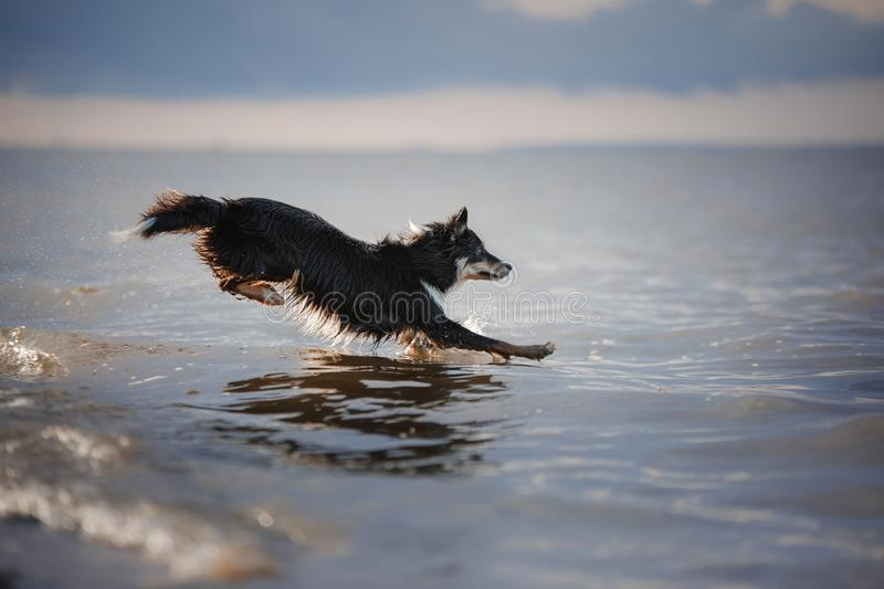 Dog border collie jumps into the water royalty free stock image
