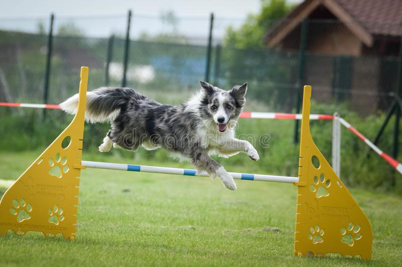 Blue merle border collie in agility competition. Dog border collie is running on agility competition. Amazing day on czech agility competition. They are middle stock photo