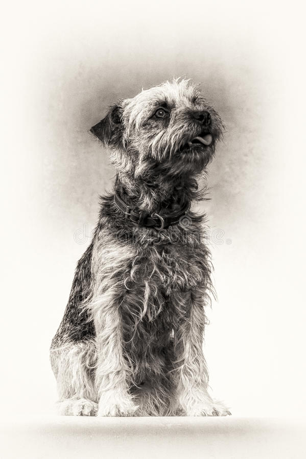 Dog, Border Terrier, Terrier, tongue, sitting, bla stock image
