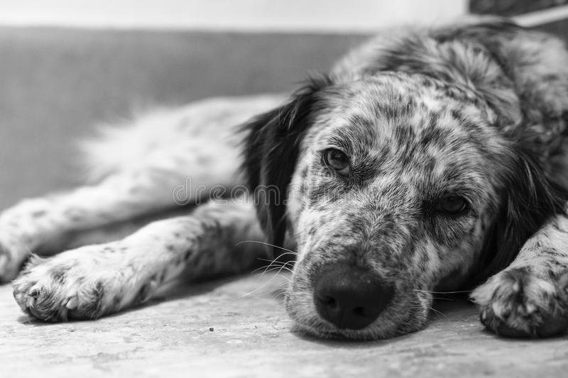 Dog bored and very tired. Black and white photo of bored and tired dog, photographed frontally stock photography