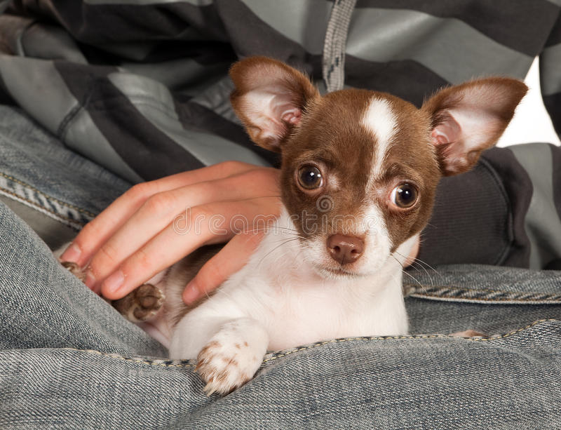 Download Dog on boss lap stock image. Image of breed, secure, doggy - 15461057
