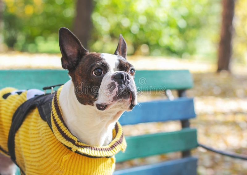 Dog boston terrier in yellow sweater sitting on bench in the Par royalty free stock photos