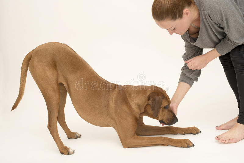 Dog in bow pose receiving reward. Rhodesian ridgeback puppy in obedience training with her owner on pale grey background horizontal layout copy space royalty free stock image