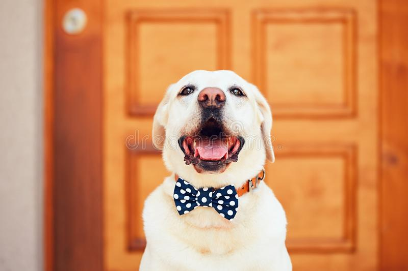 Dog with bow tie. Happy labrador retriever sitting in front of the house stock photo