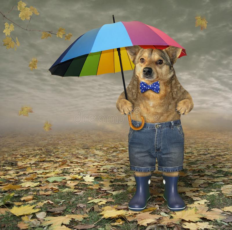 Dog with umbrella in autumn park royalty free stock photos