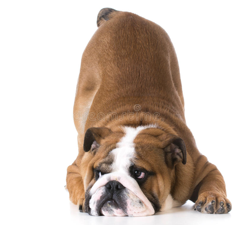 Dog bowing. Bulldog puppy with up in the air on white background stock images