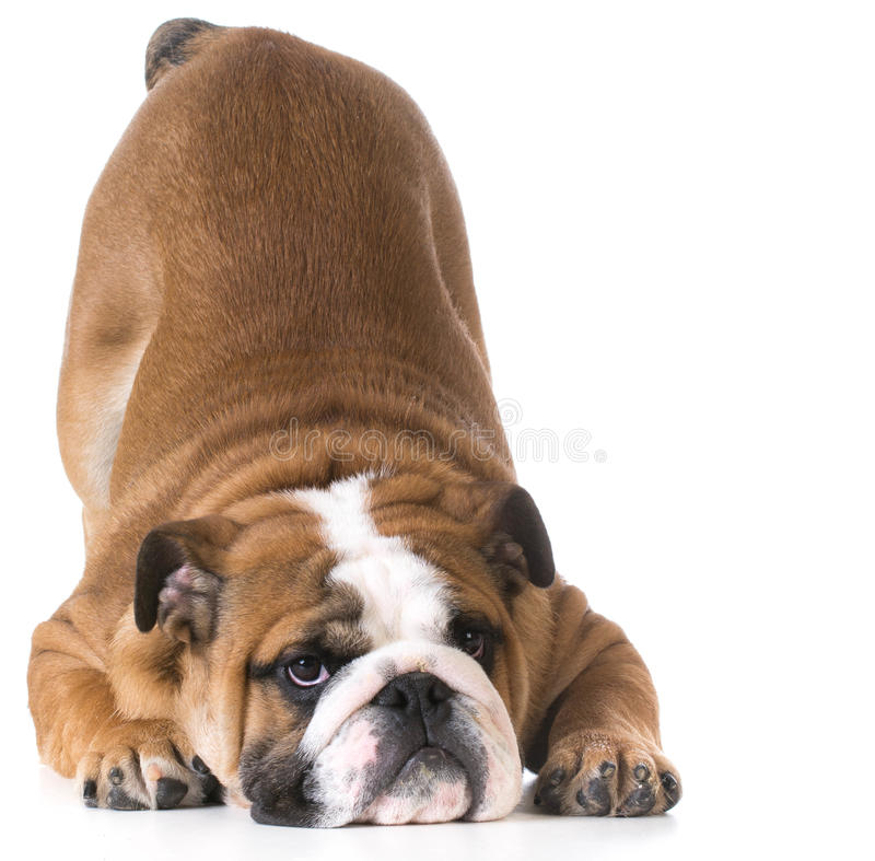 Dog bowing. Bulldog puppy with up in the air on white background stock image