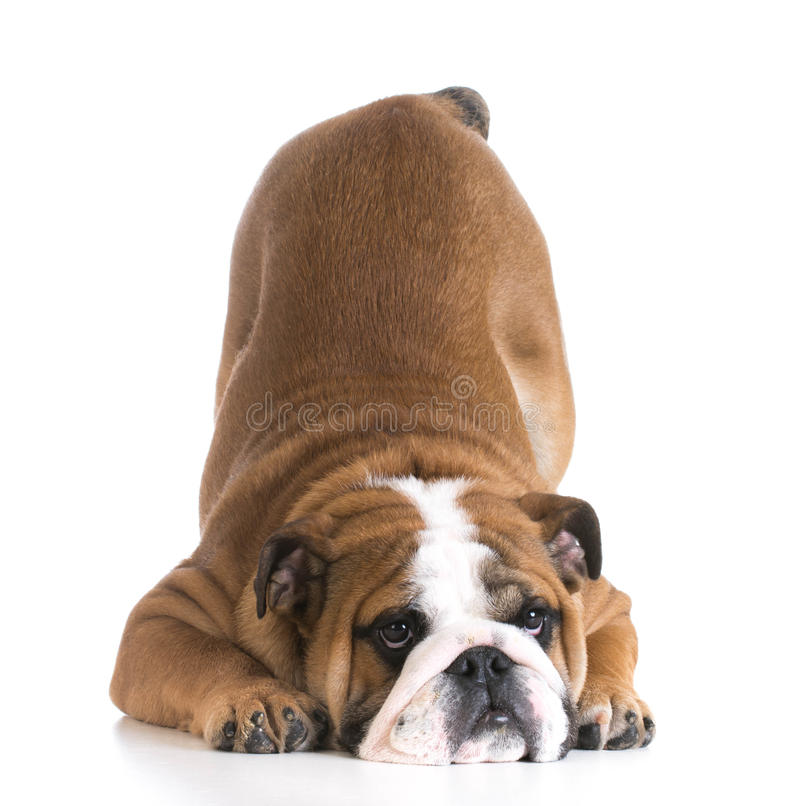 Dog bowing. Bulldog puppy with up in the air on white background royalty free stock photography