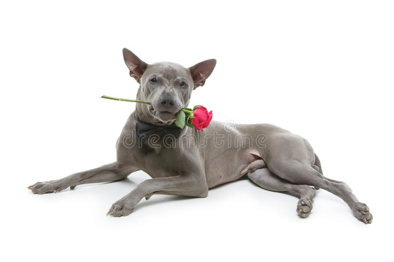 Dog in bowtie holding rose in mouth. Beautiful blue thai ridgeback male dog in bow tie holding pink rose in mouth. studio shot isolated on white background royalty free stock image