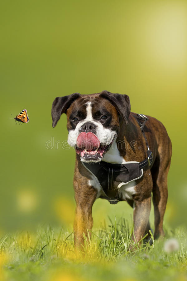 Dog, Boxer, German Boxer chasing butterfly on a meadow royalty free stock photography