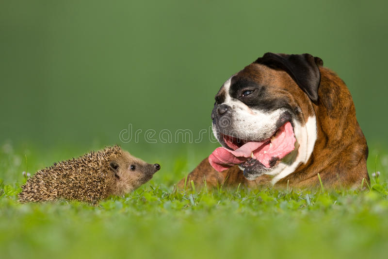 Dog / Boxer and hedgehogs. Look at each other royalty free stock photos
