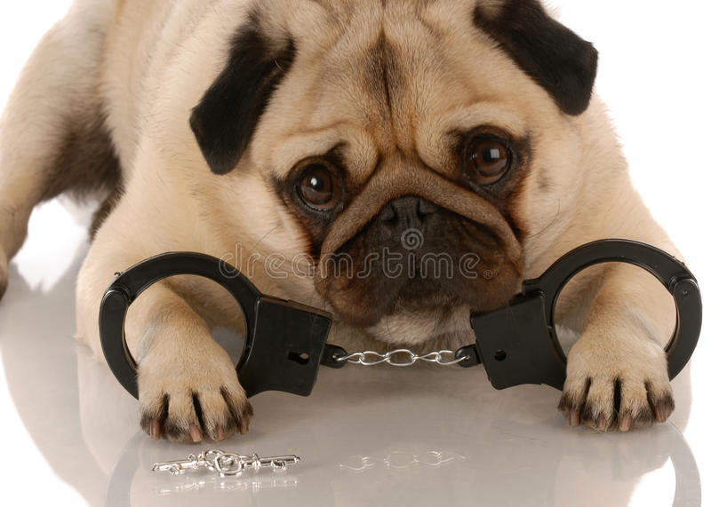 Download Dog breaking the law stock image. Image of emotion, cuffs - 11009263