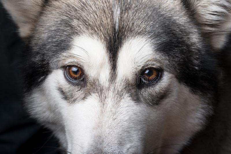 Dog breed alaskan malamute portrait close up. Shallow depth of f. Ield. Selective focus stock photo