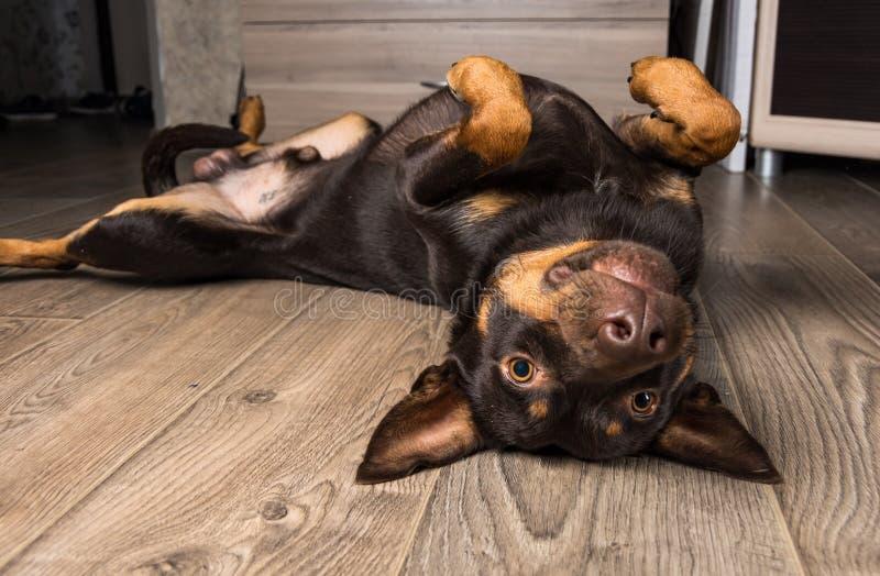 Dog Breed Australian Kelpie Portrait In An Apartment On
