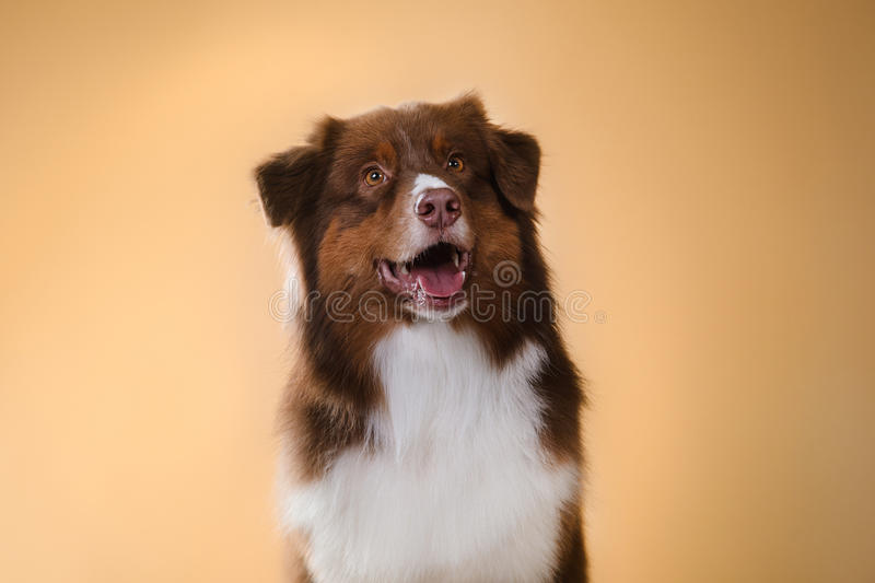 Dog breed Australian Shepherd, Aussie,. Pet in the room, studio portrait dog on a color background royalty free stock images