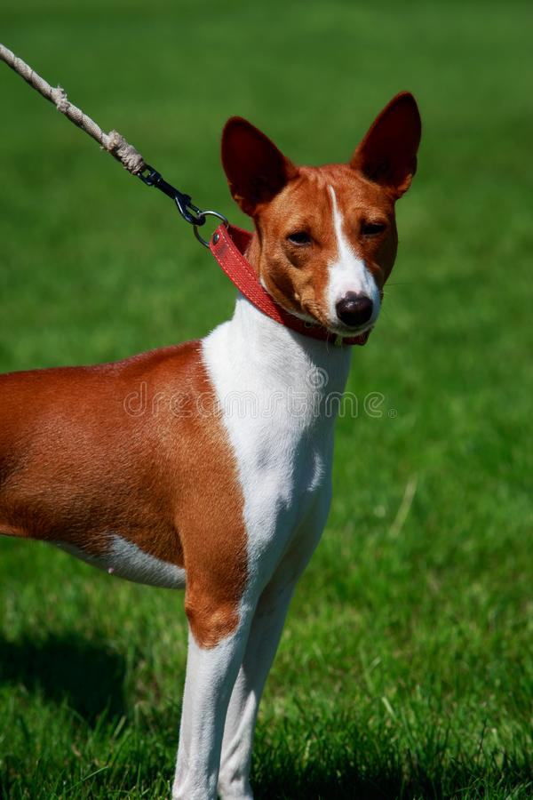 Dog breed Basenji royalty free stock image