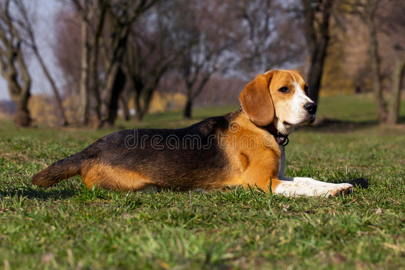 Dog breed beagle. The dog breed beagle is lying on green grass stock photo