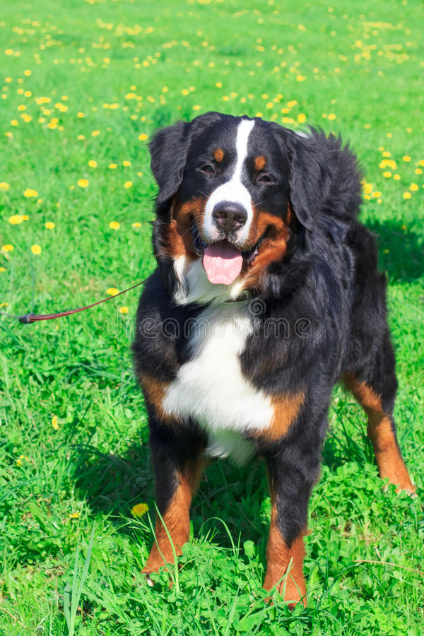 Dog breed Bernese mountain standing and smiling stock image