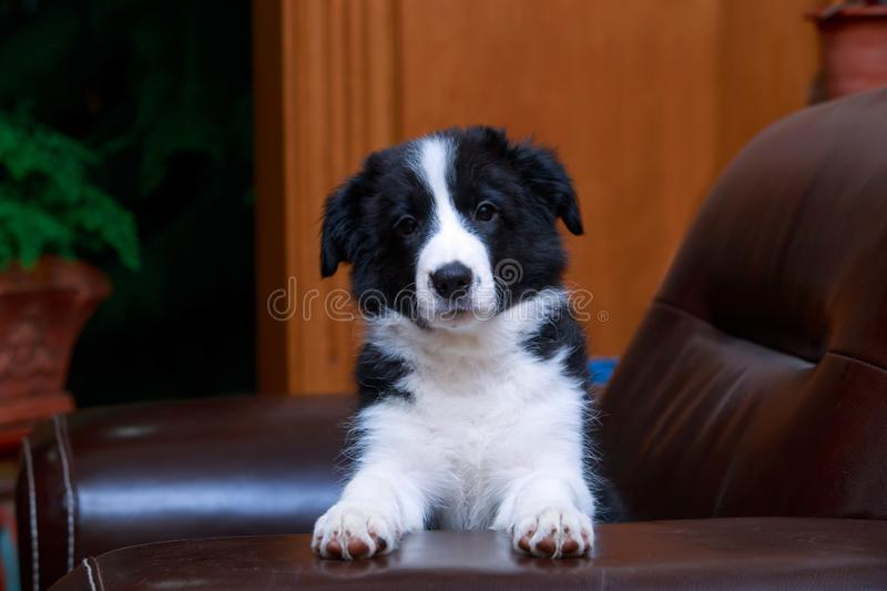 Dog breed Border Collie royalty free stock photos
