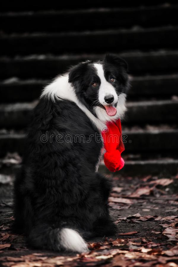 Dog breed Border Collie sits backwards and looks into the camera royalty free stock photography