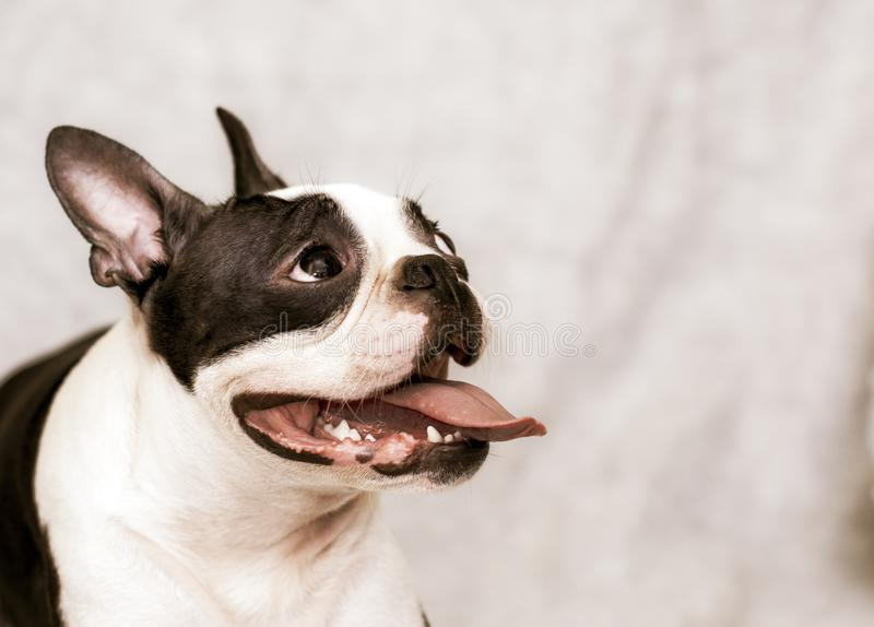 Dog breed boston terrier with a happy face and parched tongue posing on a light background. portrait. stock photography