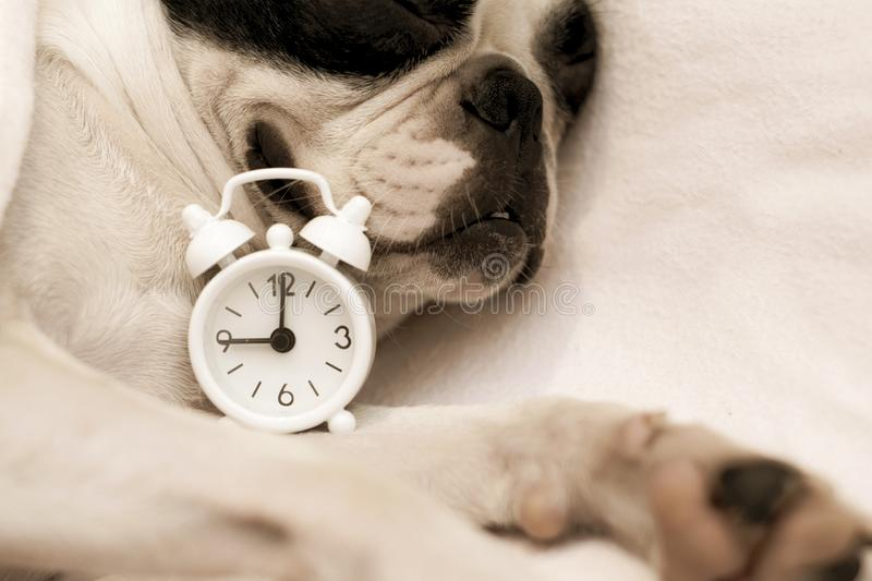 Dog breed Boston Terrier overslept and sleeps sweetly in the morning stock photo
